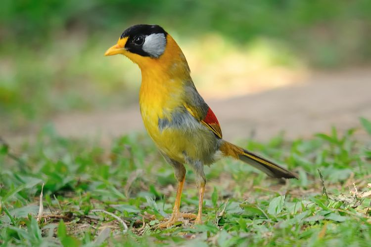 The species has been introduced to Hong Kong from captive stock derived from caged birds. The bird's upper part has a multicolor, but dull olive back wings in red and Silver.