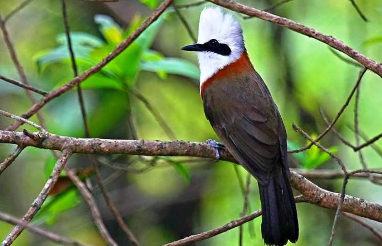 In order to be successful, the parents enlist support. The White-crested Laughing Thrushes rely on older offspring those hatched earlier in the season to support feed and defend the youngest members of the family.
