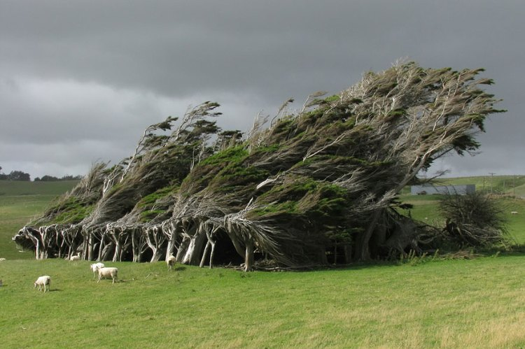 In this region the wind is so strong and persistent, that caused the trees twisted, warped and constantly bent along the direction the wind blows.