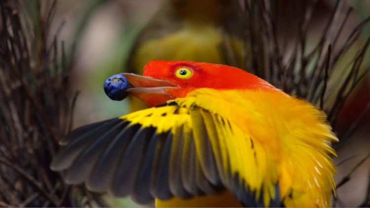 The Flame Bowrbirds diet is little known certainly includes fruits and insects.