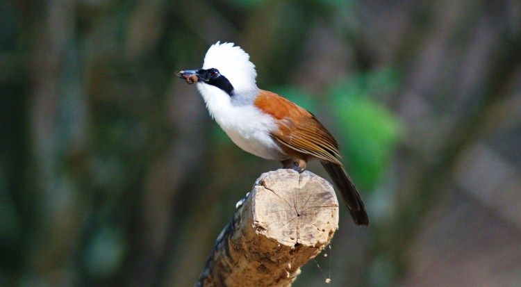 The bird is formerly included the Sumatran laughingthrush as a subspecies, but nothing like that species the plumage of the white-crested laughingthrush is rufescent-brown and white, and the black mask is relatively broad.
