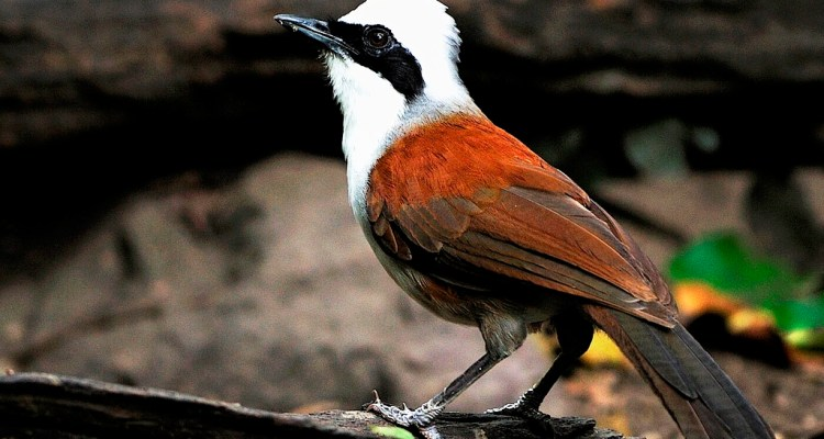 In Thailand it is an introduced as a cage bird and somehow escaped and from a sustainable population.