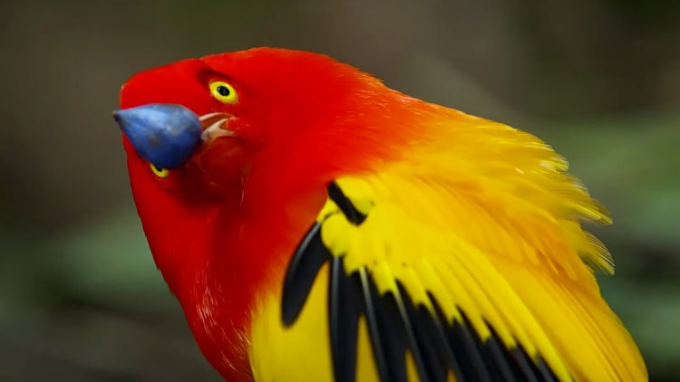 """The Flame Bowerbird is a medium sized bird, measure upto 25 cm long, with flame orange and golden yellow plumage with elongated neck plumes and yellow-tipped black tail. It builds an """"avenue-type"""" bower with two side walls of sticks."""