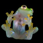 The Transparent Glass Frogs, Which Internal Organs Are Visible Through Skin
