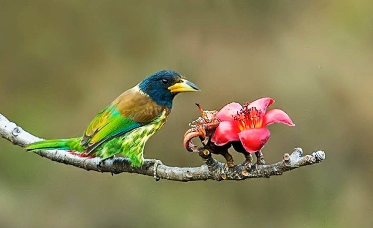 The Great Barbets mostly feed on fruits, flowers, buds and seeds, but will also eat a wide range of insects, including moths, mantis, ants, cicadas, dragonflies, crickets, locusts and beetles.