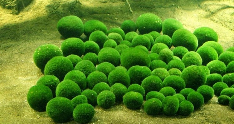Around two years ago that the marimo had decreased to such an extent that there are hardly any left, the remaining balls are scattered over a rather small area and their condition is not good.