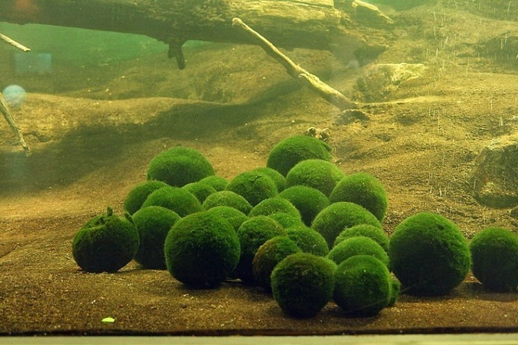 Marimo doesn't grow around a core, such as a pebble. In its place, the algal filaments grow in all directions from the centre of the ball, continuously branching and thereby laying the foundation for the spherical form.