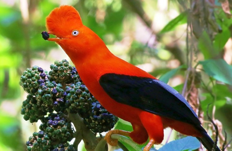 It is national bird of Peru, is readily identified by its fan-shaped crest and brilliant orange plumage, neck, breast, and shoulders and has a black body, gray wings, and a large disk-shaped crest of feathers that extends over its bill.