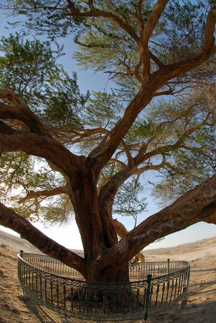 The 400-year-old mesquite tree is growing in Bahrain, approximately 2 KM from the hill Jabal Dakhan. Image credit Glenn Rose