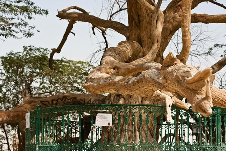 Thus, the others say the tree has learned to extract moisture from breezes blowing it from the Persian Gulf or squeeze moisture from grains of sand. Image credit Omar Chatriwala