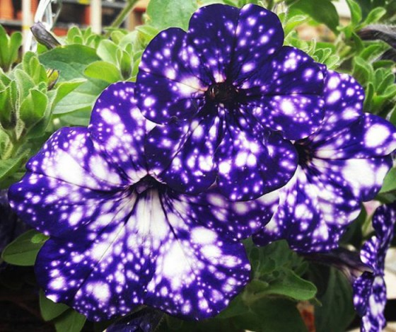 Because, one flower that has taken this spectacle to the next level is the Night Sky Petunia.  (Image credits sophie.isaacs94)