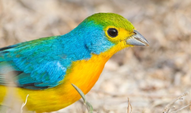 The cardinalids are also known for being dimorphic, and the males often have dramatic, brilliant coloring although the females are very beautiful as well.