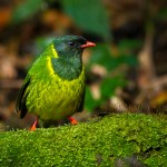 The Green-and-black Fruiteater (Pipreola riefferii)