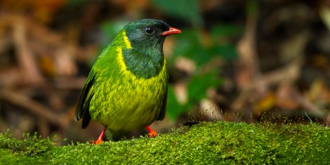 The green & black fruiteater can found in Colombia, Ecuador, Peru, and Venezuela.