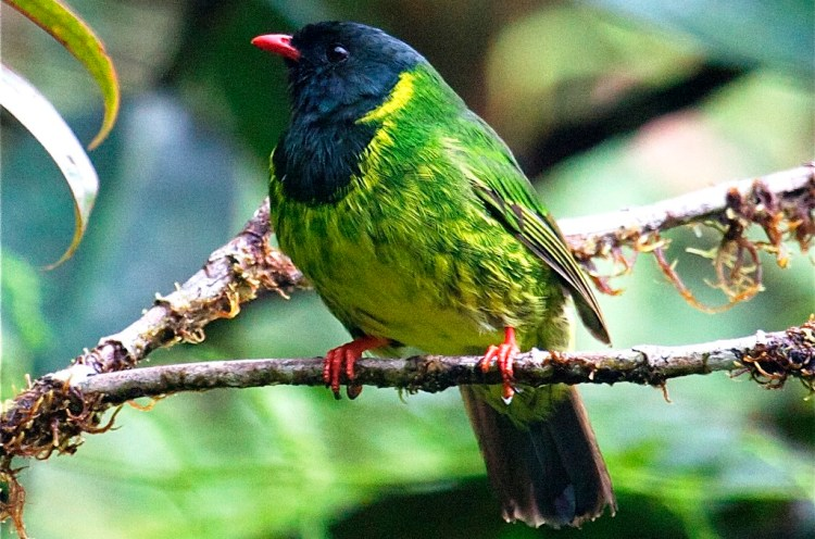 The bird species is native to the lower and mid-level mountain forests on the eastern side of the Andes in South America.