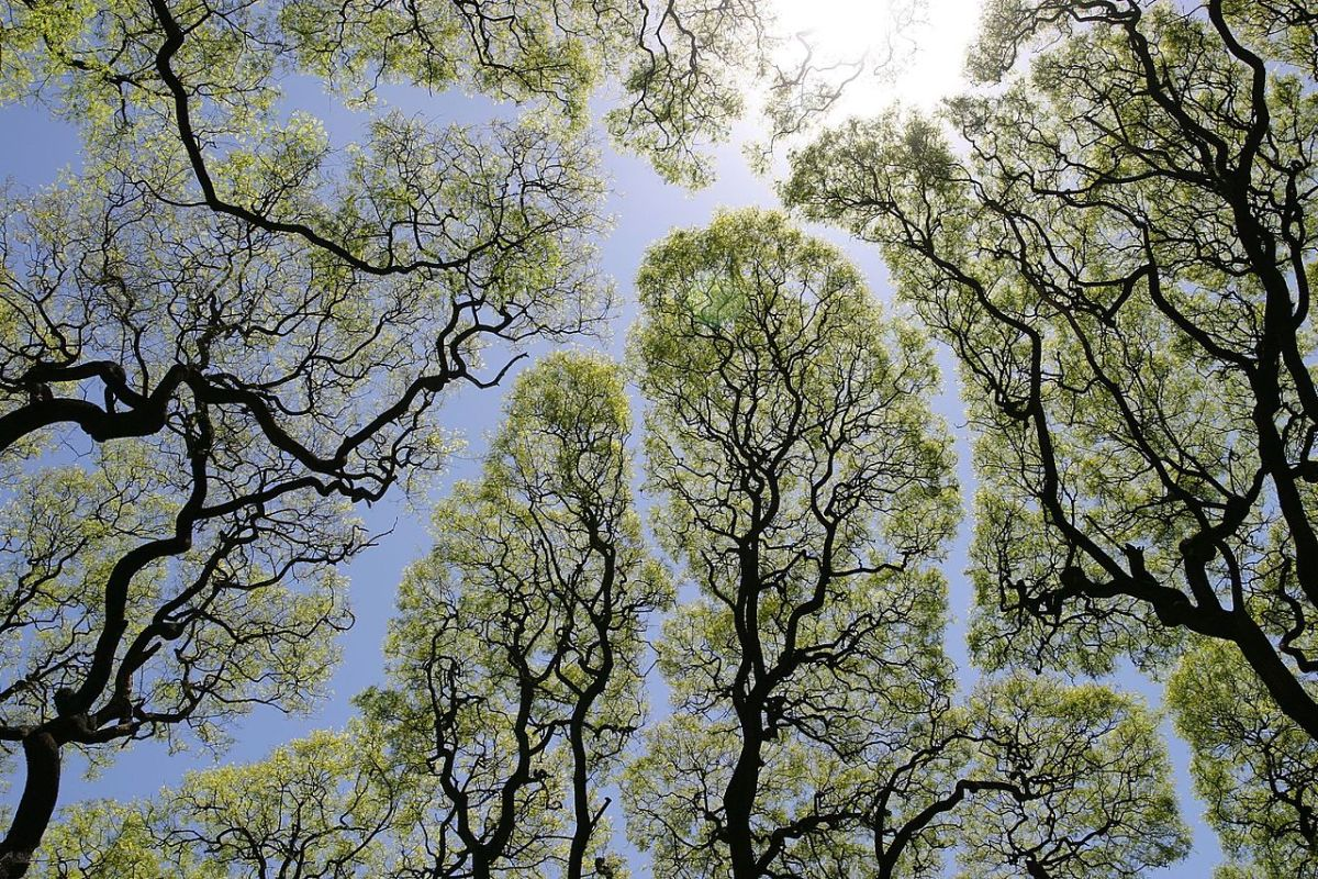 Crown Shyness, A Natural Phenomenon Where Trees Avoid Touching
