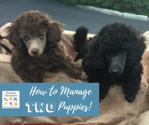 Is getting two puppies at once a bad idea? Here is how to manage it.