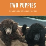 Is Getting Two Puppies at the Same Time a Bad Idea?