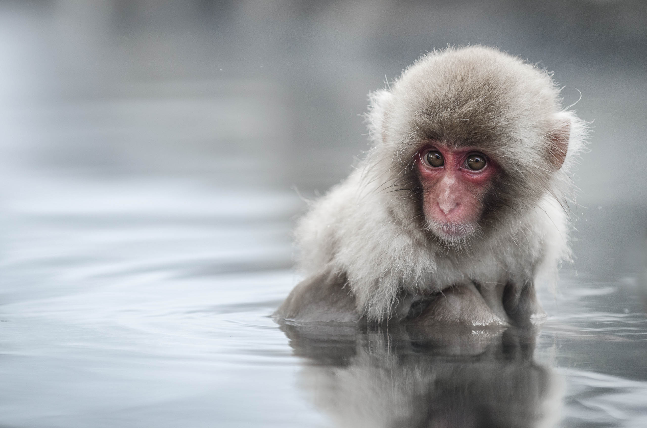 Japan Snow Monkeys Charles Fourtree