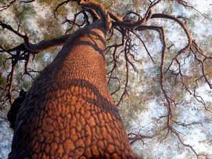 The Big Tree, Africa