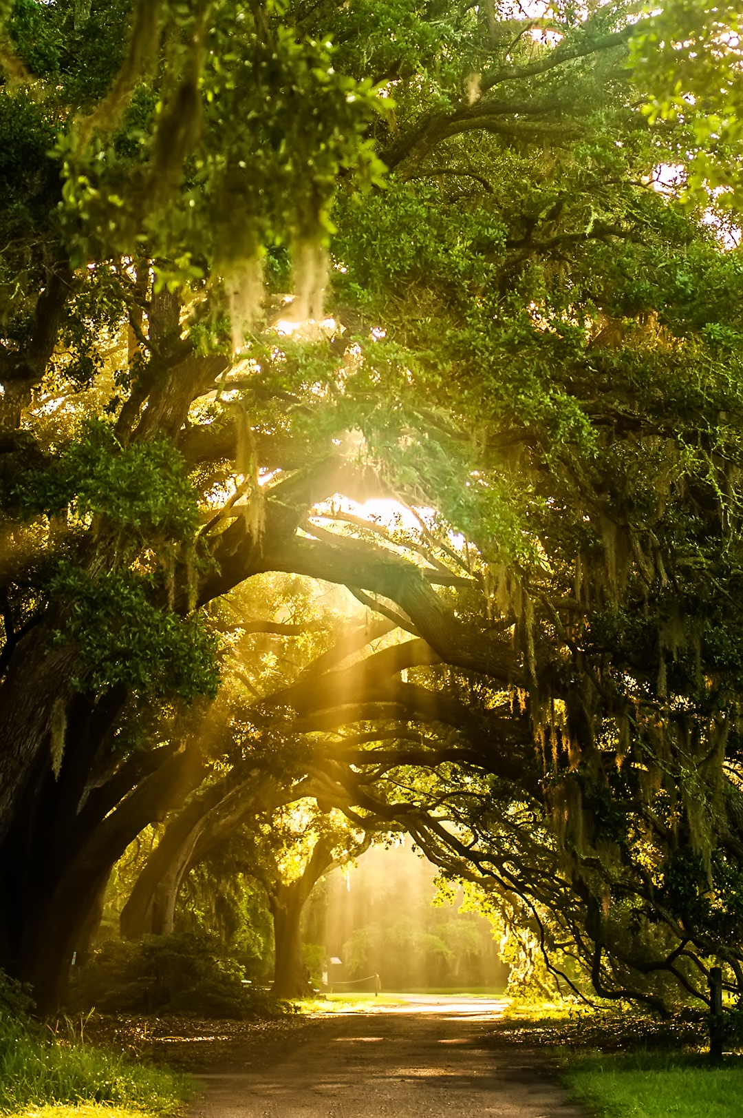 Charlestonly: Tea Plantation - Explore Charleston Blog