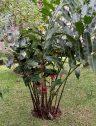 El bastón de emperador plant seen from my terrace