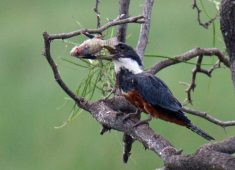 Ringed Kingfisher with Fish