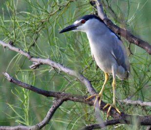 Black-crowned Night-Heron Adult