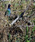 Purple Gallinule on Nest