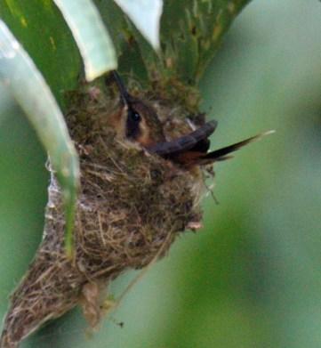 Stripe-throated Hermit Nest