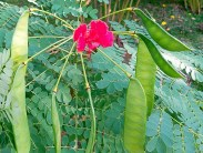 Peacock Flower, Dwarf Poinciana & other names for Caesalpinia pulcherrima