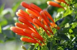 Flame Vine or Triquitraque