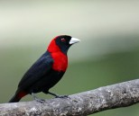 Crimson-colored Tanager
