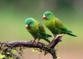Orange-chinned Parakeets