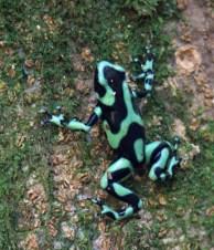 Green & Black Poison Dart Frog