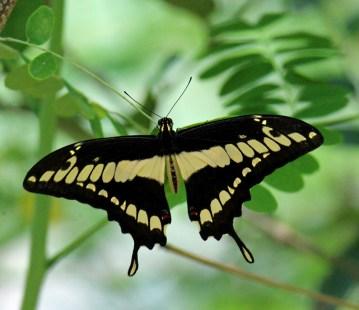 Thomas Swallowtail