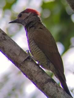 Golden-olive Woodpecker