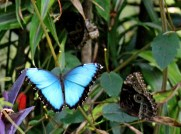 2 Blue Morphos at Lodge (open-wings & closed-wings)