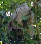 Sleeping 2-Toed Sloth. Monteverde Reserve