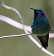 Purple-throated Mountain-gem