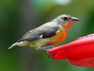 Bananaquit (stealing hummingbird sugar-water)