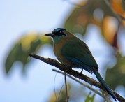 Lesson's Motmot (formerly Blue-crowned)