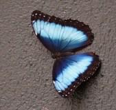 Blue Morpho at Lodge