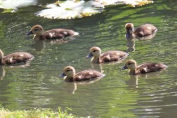 Muscovy Duck Babies