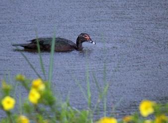 Muscovy Duck in Rain