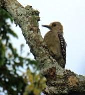 Hoffman's Woodpecker Female