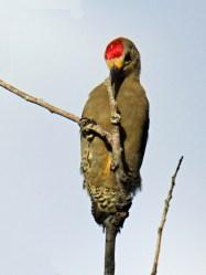 Hoffman's Woodpecker Male