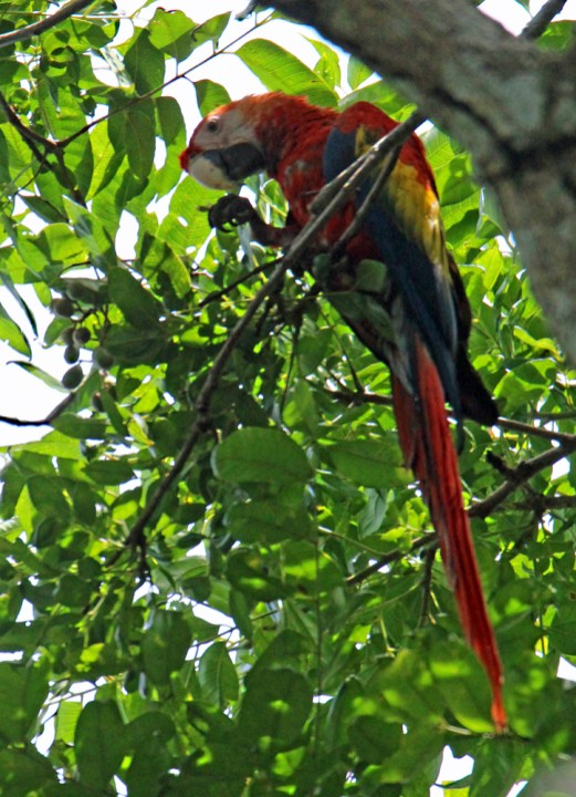Scarlet Macaw feeding on nuts