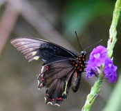 Polydamas Swallowtail (side or bottom)