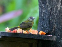 Scarlet-rumped Tanager Passerini female